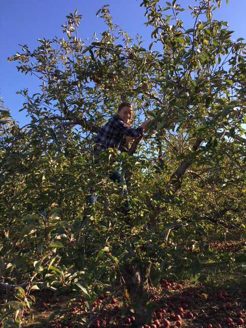 Julia is on a mission to find the best apple as she climbs a tree at Lynd Fruit Farm.