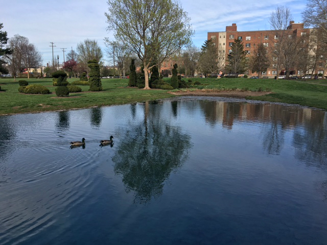 Ducks float in the pond of Columbus' Topiary Garden.