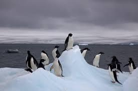 Supercolony of Adélie Penguins found