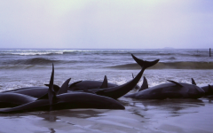 A Week of Whale Strandings