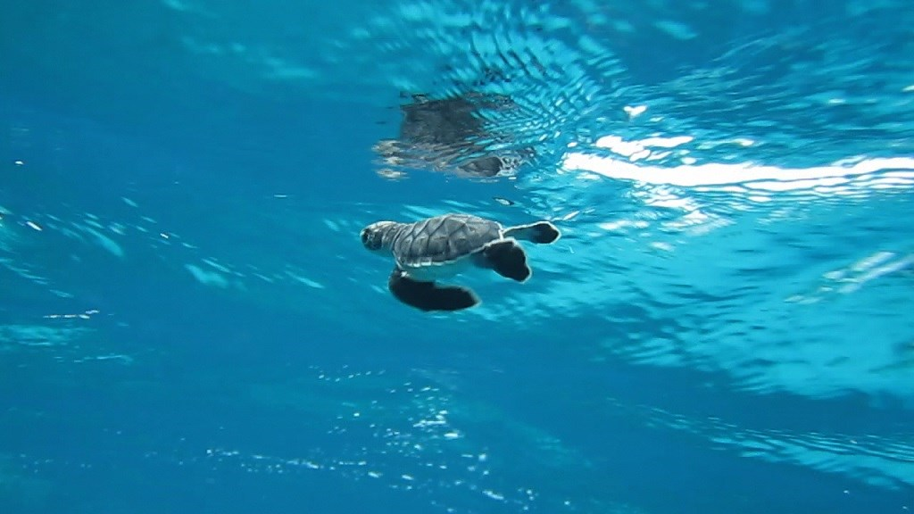 Sea Turtle Populations Turning Female?