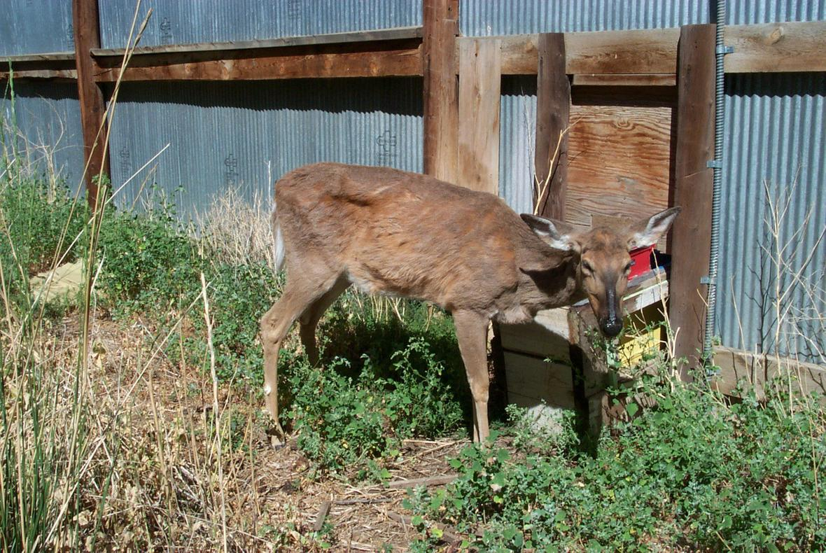 Deer suffering from chronic wasting disease